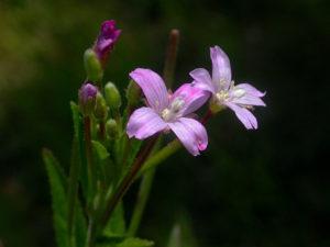 Кипрей мелкоцветковый. Цветки